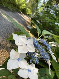 紫陽花ロードの写真・画像素材[4801408]