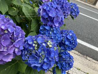 道端の紫陽花の写真・画像素材[4808903]