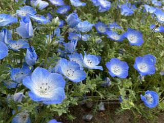 青いアネモネの写真・画像素材[4827596]