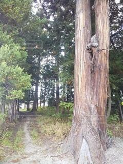 森の小道と大きな木の写真・画像素材[4950479]