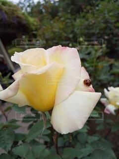 てんとう虫と薔薇の写真・画像素材[4811153]