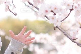 桜に手を伸ばすの写真・画像素材[4805468]