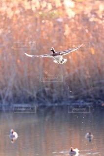 飛び立つ鴨の写真・画像素材[4808904]