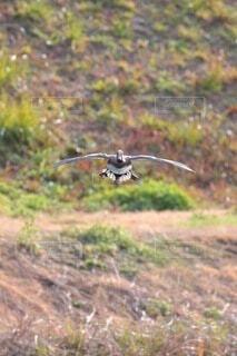 鴨の飛来の写真・画像素材[4812354]
