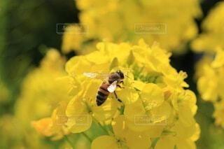 ミツバチと菜の花の写真・画像素材[4825041]