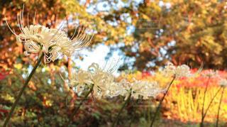 白い彼岸花の写真・画像素材[4834392]