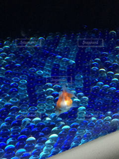 金魚の写真・画像素材[216127]