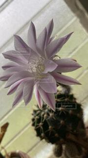 サボテンの花の写真・画像素材[4811650]