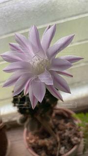 サボテンの花の写真・画像素材[4811656]