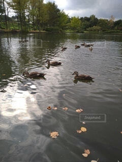 鴨になりたいの写真・画像素材[4809685]