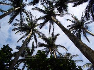椰子の木の写真・画像素材[230752]
