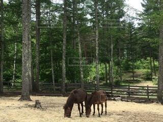 木曽馬の写真・画像素材[4869153]