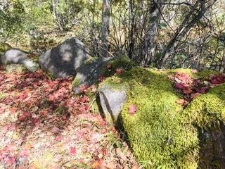 苔と紅葉の写真・画像素材[4933562]