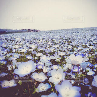 お花畑の写真・画像素材[216428]