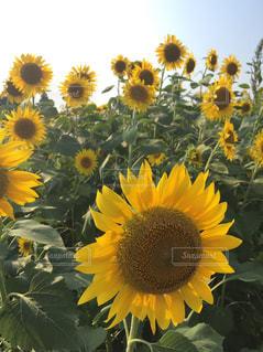 お花畑の写真・画像素材[216435]