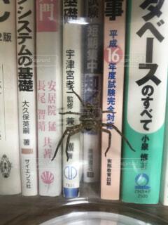 アシダカ蜘蛛の写真・画像素材[4814293]