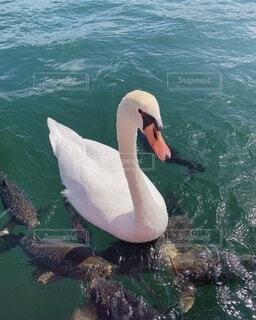 白鳥と取り巻きの鯉たちの写真・画像素材[4815584]