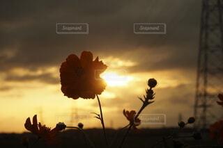 夕焼けと秋桜の写真・画像素材[4897150]