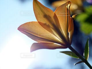 透かしの入ったユリの花の写真・画像素材[4818554]