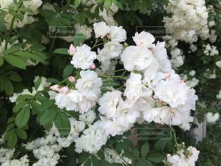 白薔薇の写真・画像素材[1003605]