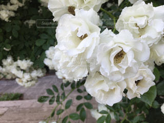 薔薇の花のアップの写真・画像素材[1003606]