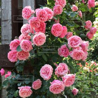 ピンクのバラの写真・画像素材[1003664]