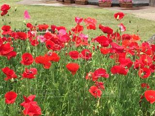 フィールドに赤い花の写真・画像素材[1003750]