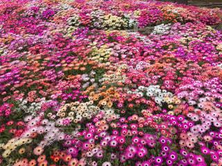 ピンクの絨毯の写真・画像素材[1003753]