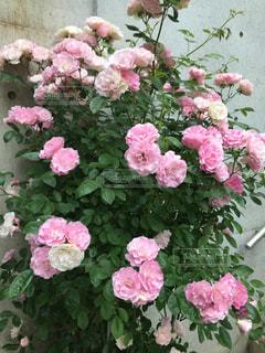 ピンクのバラの写真・画像素材[1003754]