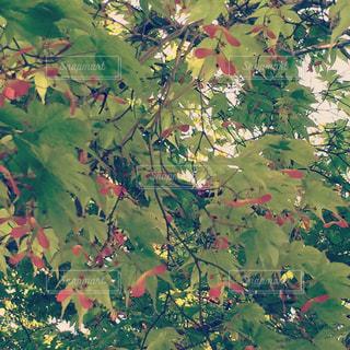 楓の写真・画像素材[1003841]