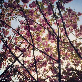 八重桜の写真・画像素材[1003843]