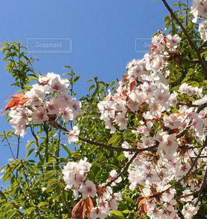桜の写真・画像素材[1005515]