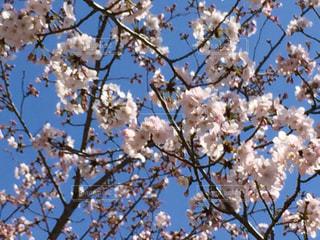 桜の写真・画像素材[1005518]