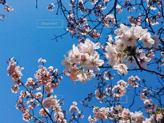 桜の写真・画像素材[1005519]