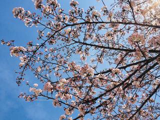 桜の写真・画像素材[1005520]