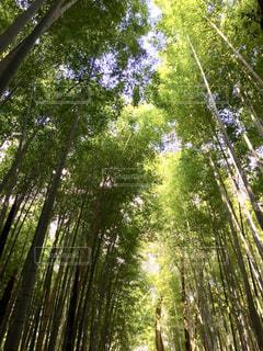 嵐山の竹林の写真・画像素材[1005564]