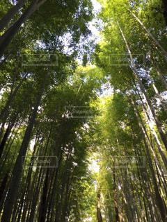 嵐山の竹林の写真・画像素材[1005565]