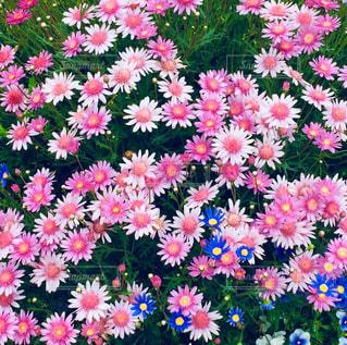 ピンクの花の写真・画像素材[1006608]