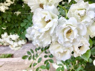 白バラの写真・画像素材[1006646]