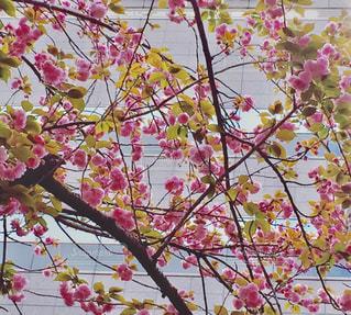 八重桜の写真・画像素材[1008450]