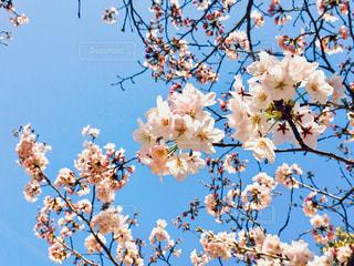 桜の木の写真・画像素材[1009141]