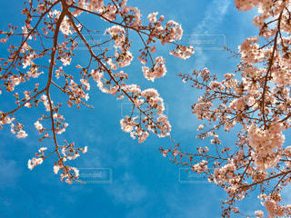 青い空と桜の木の写真・画像素材[1009142]