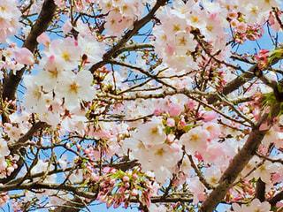 桜の花の写真・画像素材[1009143]