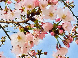 桜の花のアップの写真・画像素材[1009144]