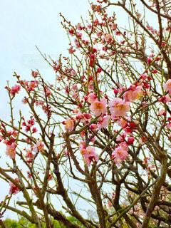 梅の花の写真・画像素材[1009145]