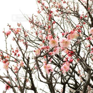 梅の花の写真・画像素材[1009307]