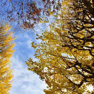 空と銀杏の写真・画像素材[1010301]