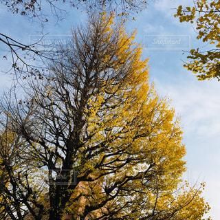 大きな銀杏の木の写真・画像素材[1010302]