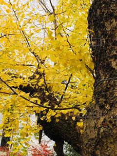 公園の銀杏の写真・画像素材[1010305]