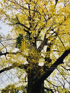 公園の銀杏の写真・画像素材[1010306]
